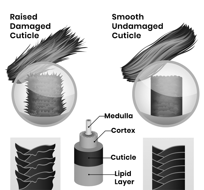 A Hair Structure Diagram for Heat Damage on Gray Hair